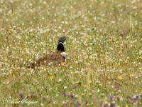 Kleine Trap Vogelfotografiereis Portugal