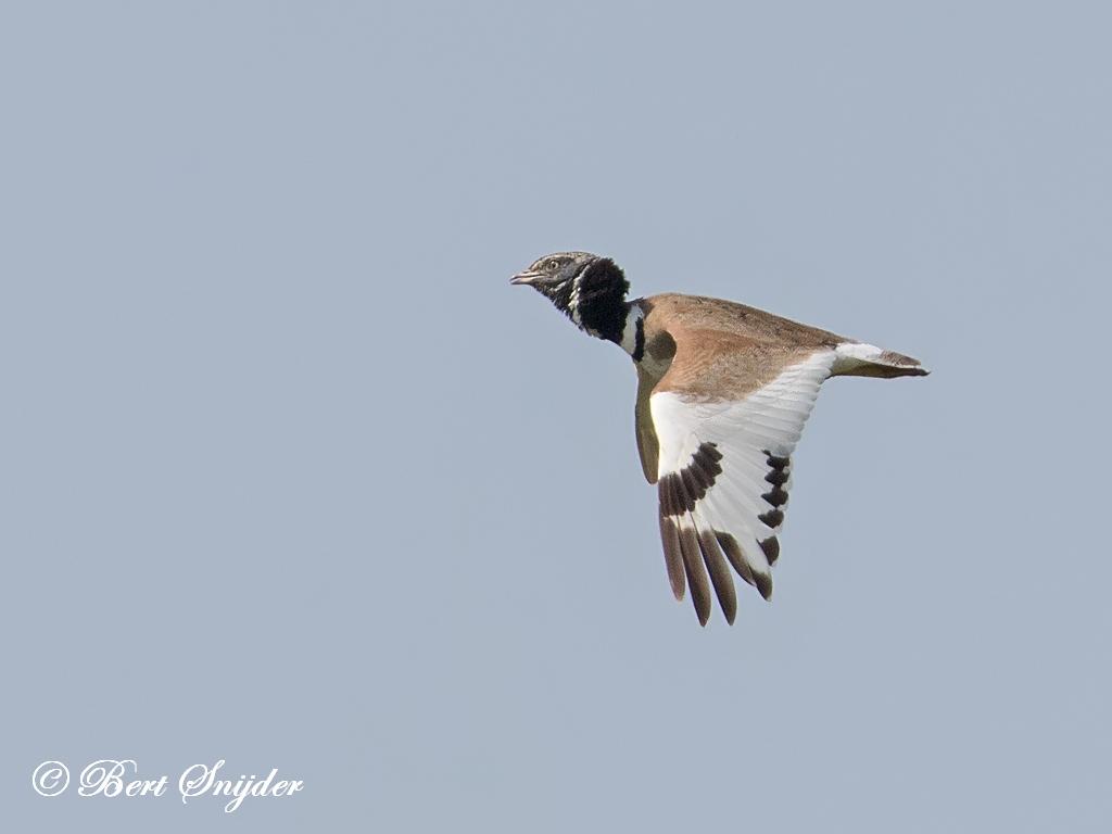 Kleine Trap Vogelreis Portugal