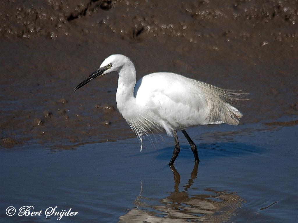 Kleine Zilverreiger Vogelvakantie Portugal