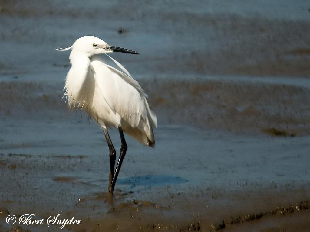 Kleine Zilverreiger Vogelreis Portugal