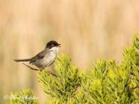 Kleine Zwartkop Vogelvakantie Portugal