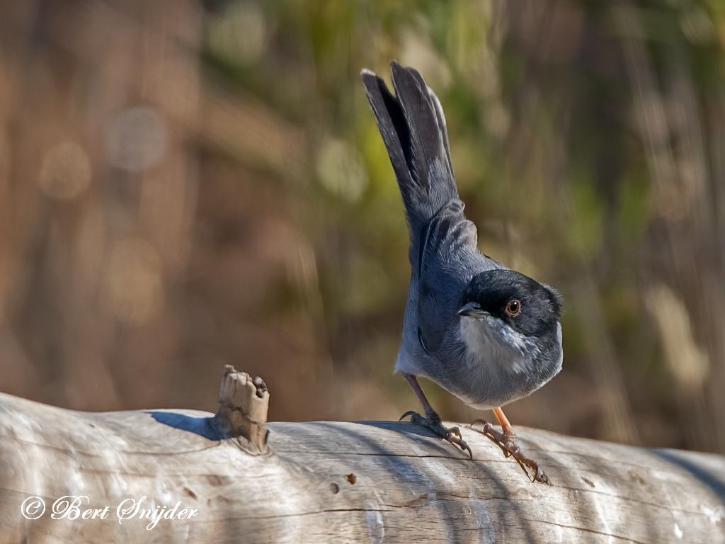 Kleine Zwartkop Vogelhut BSP1 Portugal