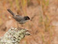 Kleine Zwartkop Vogelreis Portugal