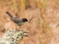 Kleine Zwartkop Vogelfotografiereis Portugal