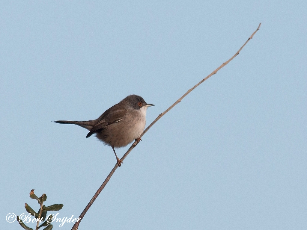 Kleine Zwartkop Vogelfotografie reis Portugal