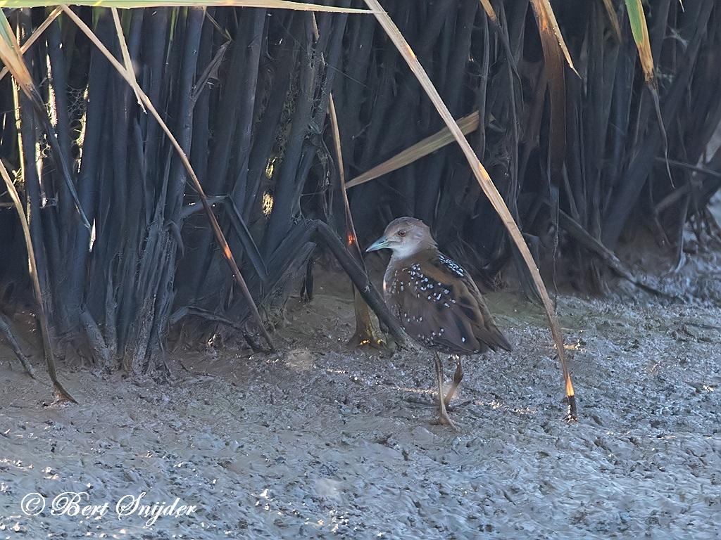 Kleinst Waterhoen Vogelvakantie Portugal