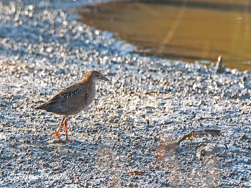 Kleinst Waterhoen Vogelreis Portugal