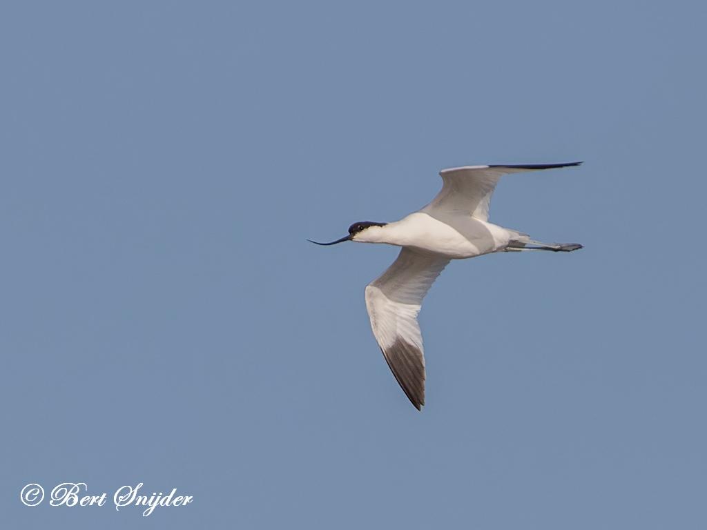 Kluut Vogelreis Portugal