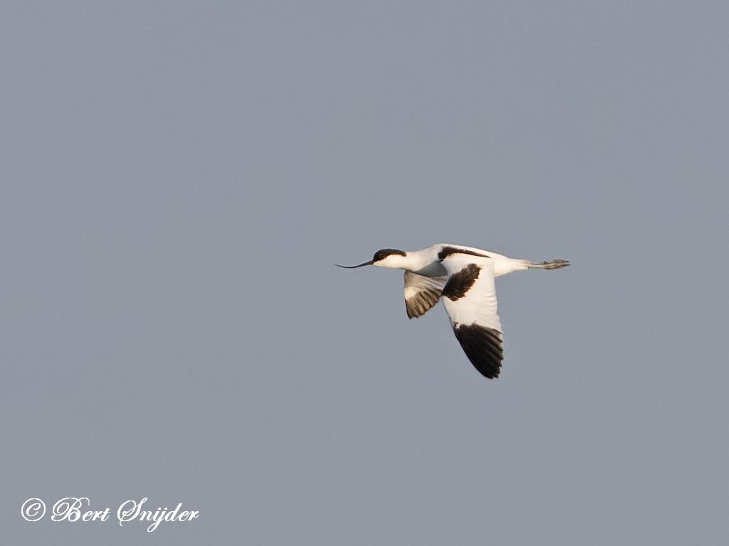Kluut Vogelvakantie Portugal