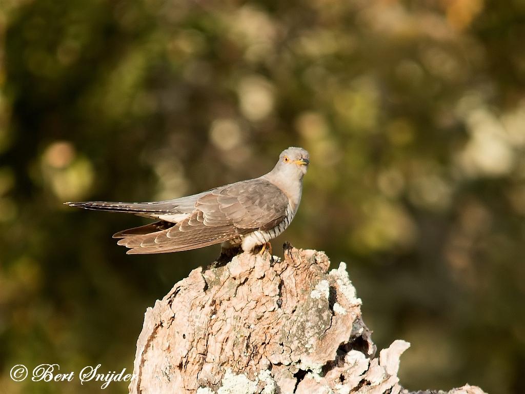 Koekoek Vogelreis Portugal