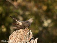 Koekoek Vogelvakantie Portugal