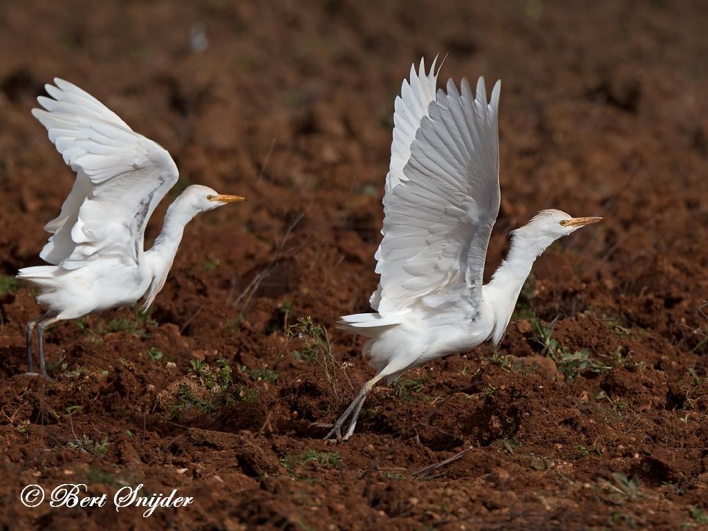 Koereiger Vogelhut BSP5 Portugal