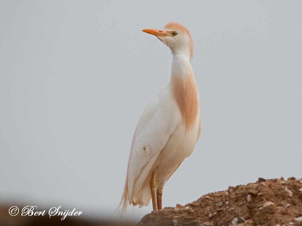 Koereiger Vogelhut BSP6 Portugal