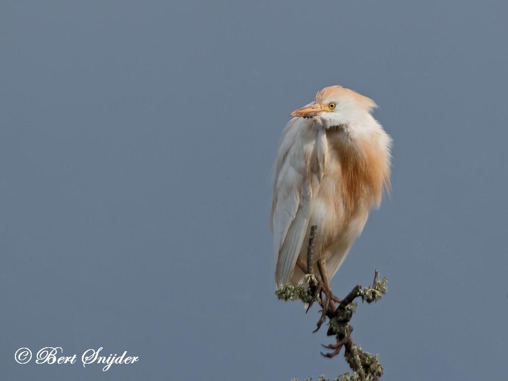 Koereiger Vogelvakantie Portugal