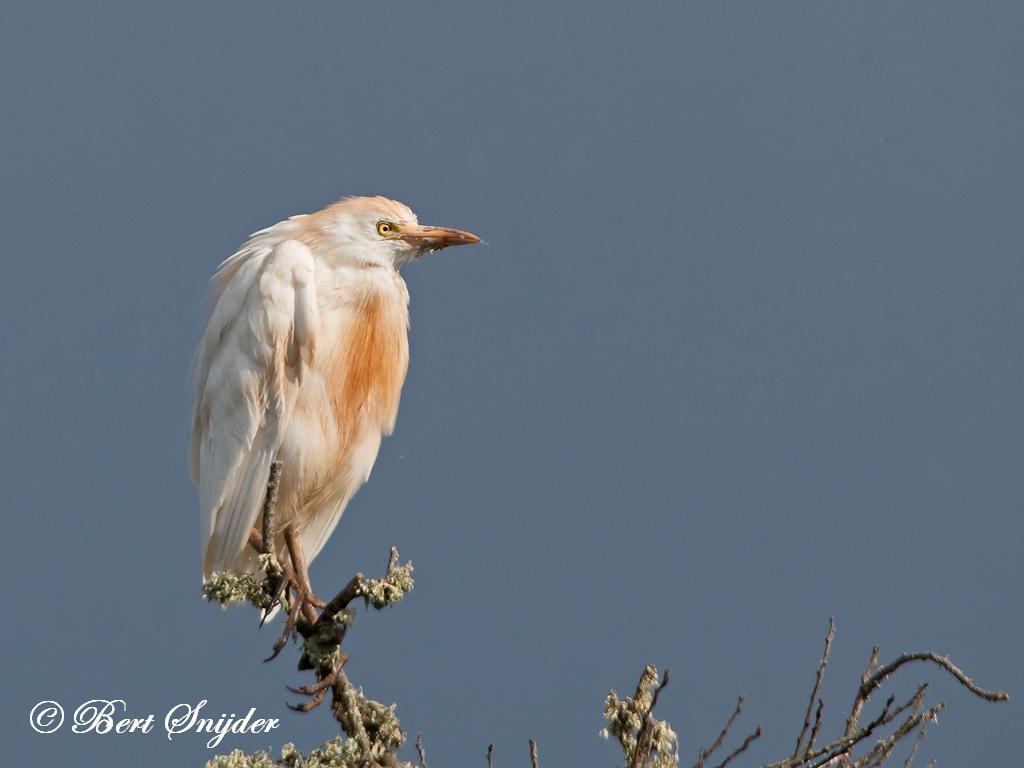 Koereiger Vogelreis Portugal