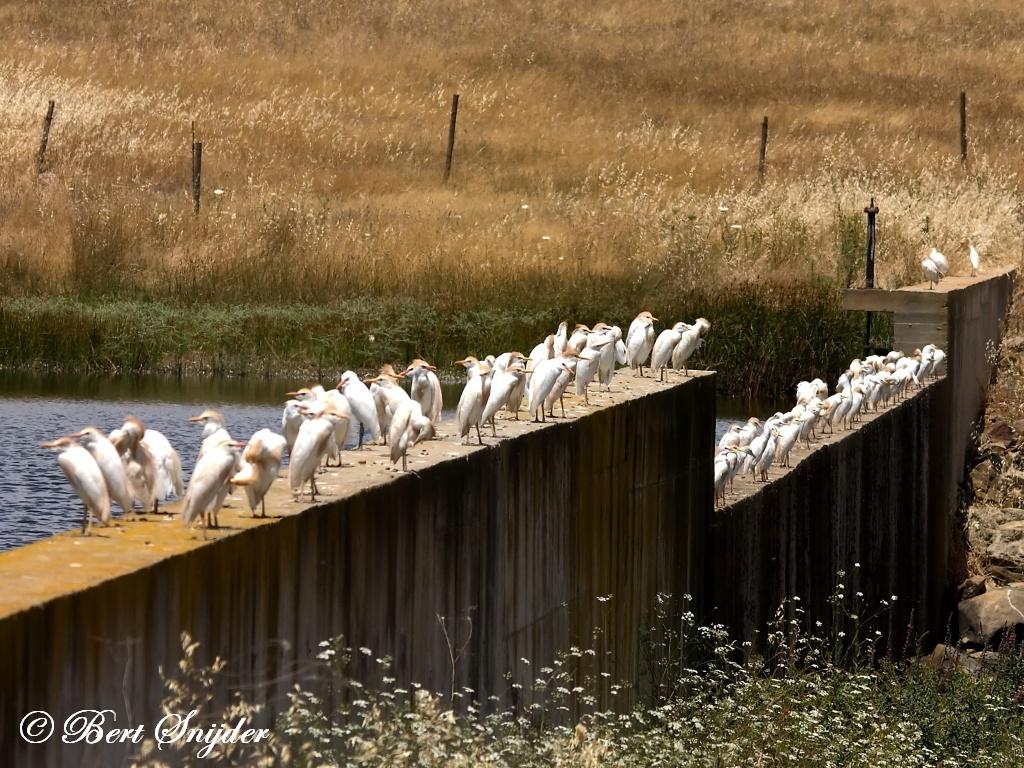 Koereigers Vogelvakantie Portugal
