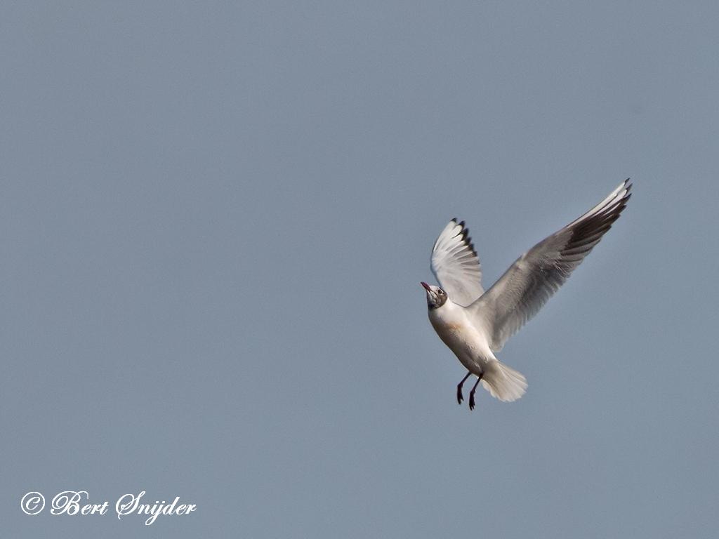 Kokmeeuw Vogelkijkhut BSP2 Portugal