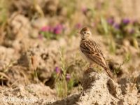 Kortteenleeuwerik Vogelvakantie Portugal