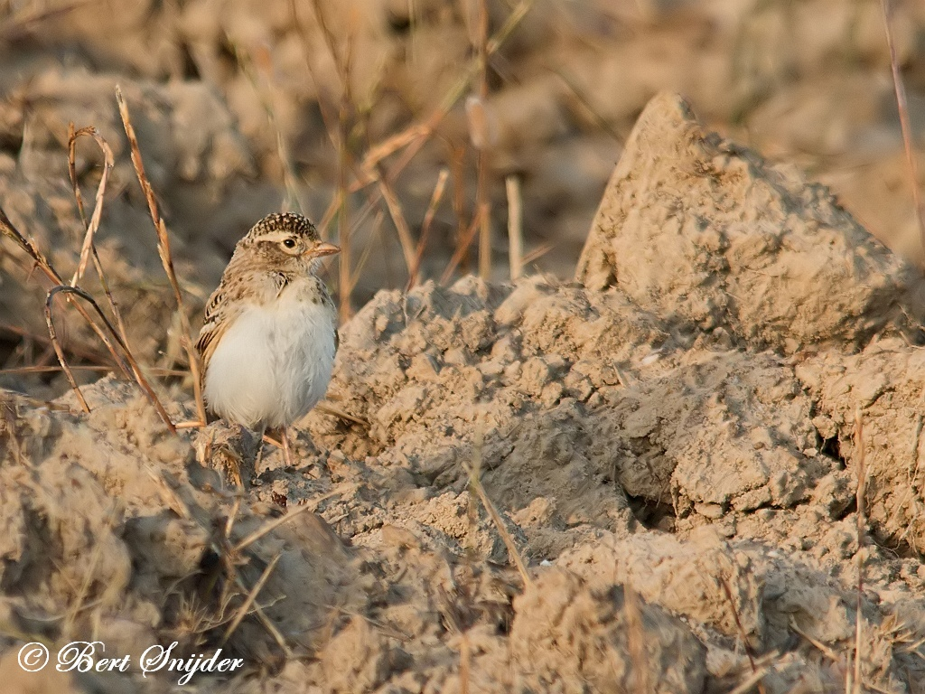 Kortteenleeuwerik Vogelreis Portugal