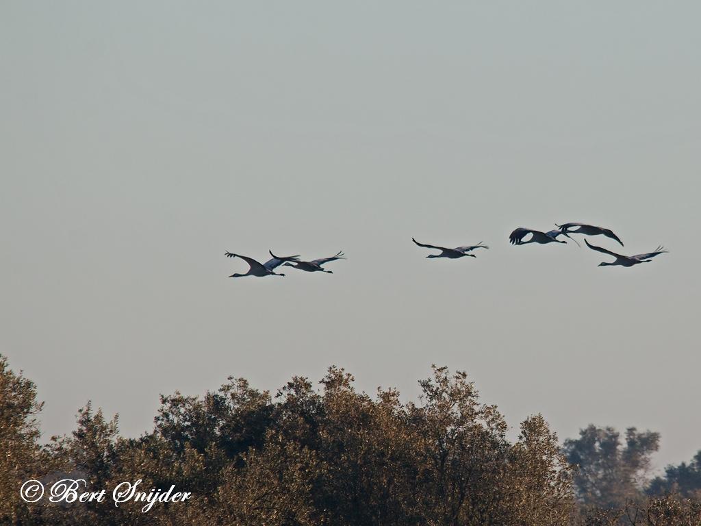 Kraanvogel Vogelhut BSP5 Portugal