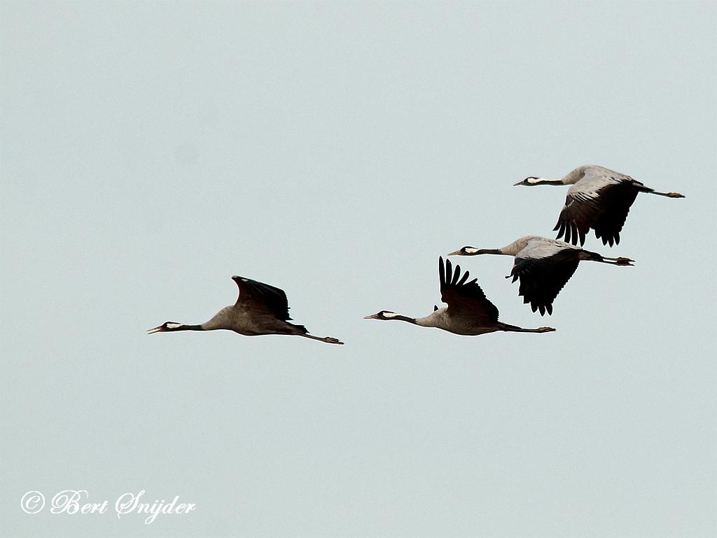Kraanvogel Vogelvakantie Portugal