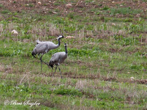 Kraanvogel Vogelhut BSP4 Portugal