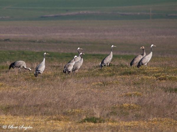 Kraanvogels Vogelfotografie reis Portugal