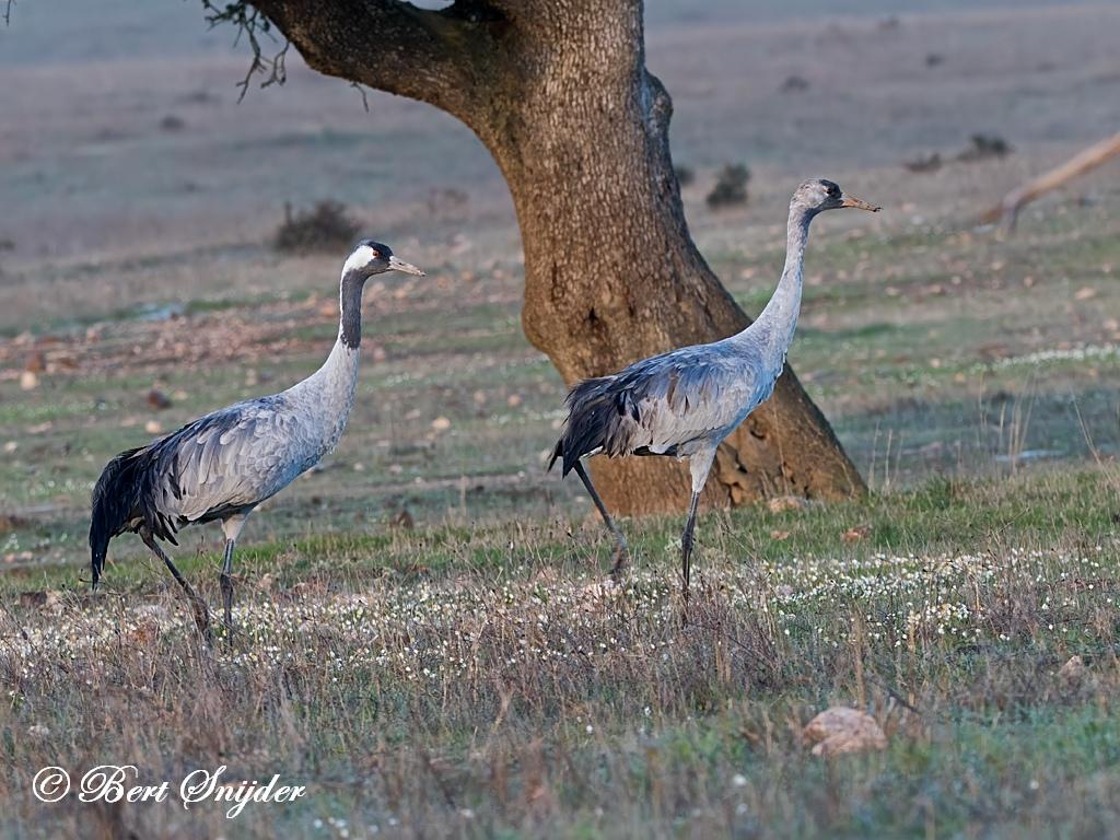 Kraanvogel Vogelhut BSP7 Portugal