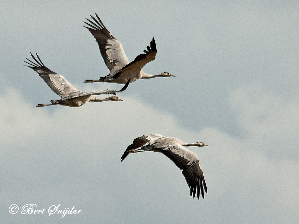 Kraanvogel Vogelreis Portugal
