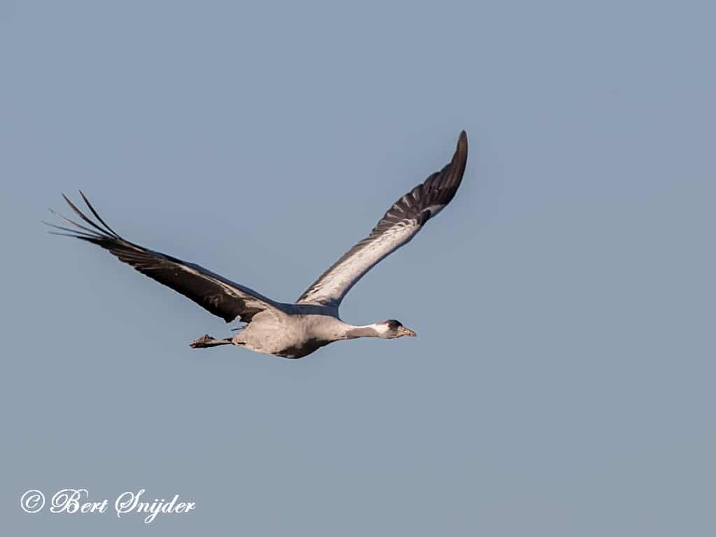 Kraanvogels Portugal