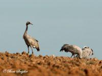 Kraanvogel Vogelfotografie reis Portugal