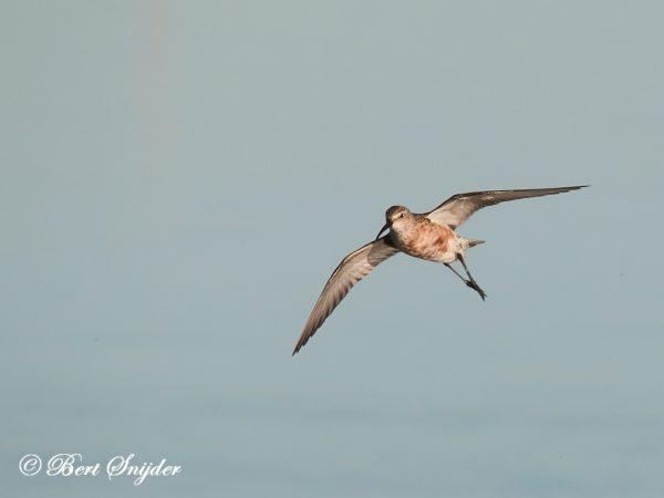 Krombekstrandloper Vogelreis Portugal