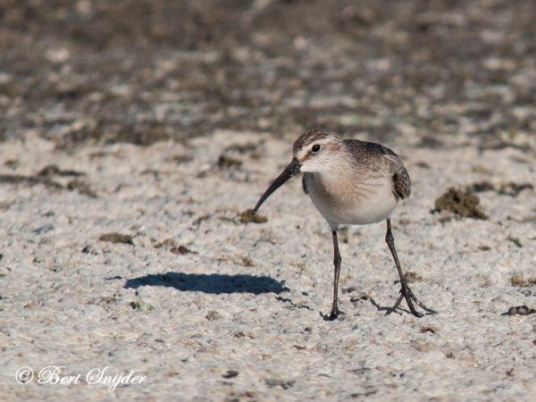 Krombekstrandloper Vogelvakantie Portugal