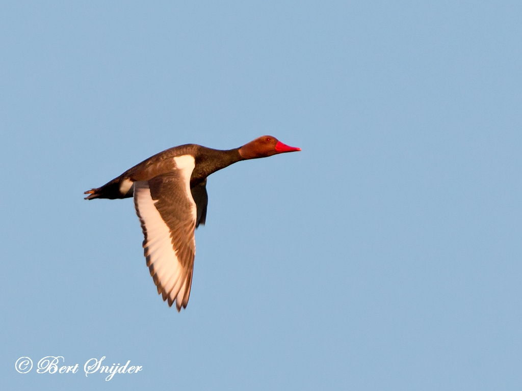Krooneend Vogelreis Portugal