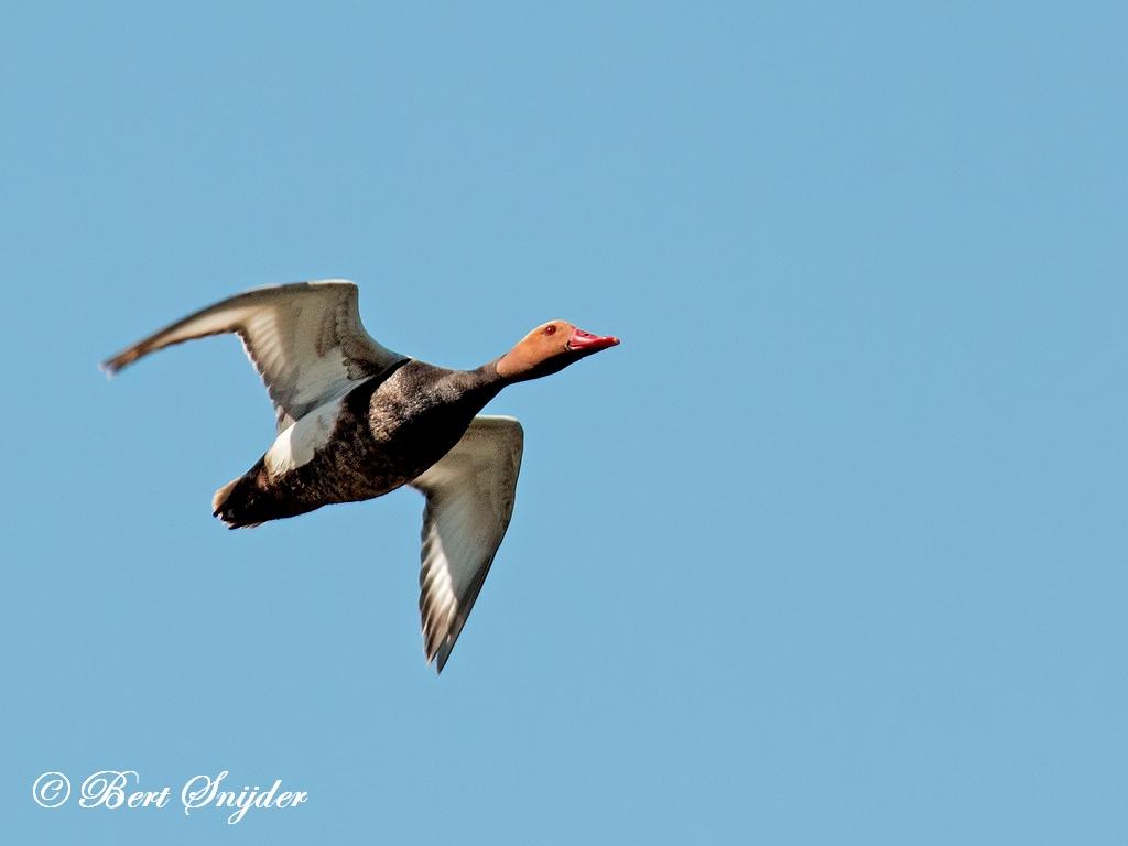 Krooneend Vogelvakantie Portugal