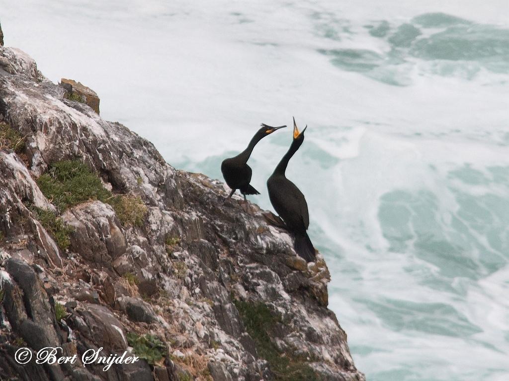 Kuifaalscholver Vogelreis Portugal