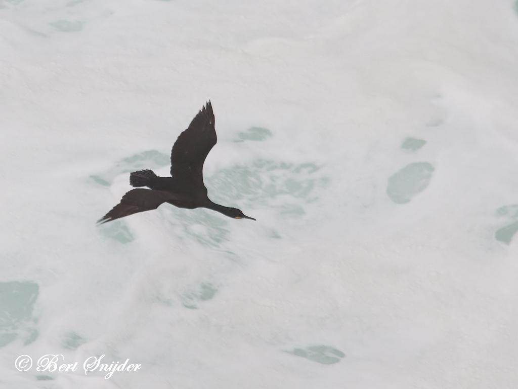 Kuifaalscholver Vogelvakantie Portugal