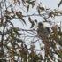 Kuifkoekoek Vogelvakantie Portugal