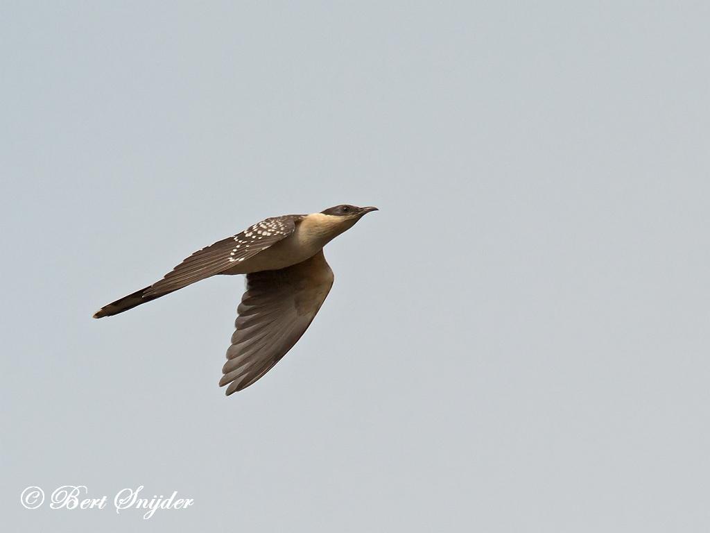 Kuifkoekoek Vogelreis Portugal