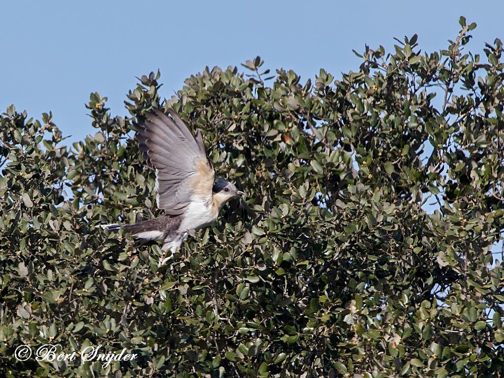 Kuifkoekoek Vogelhut BSP7 Portugal
