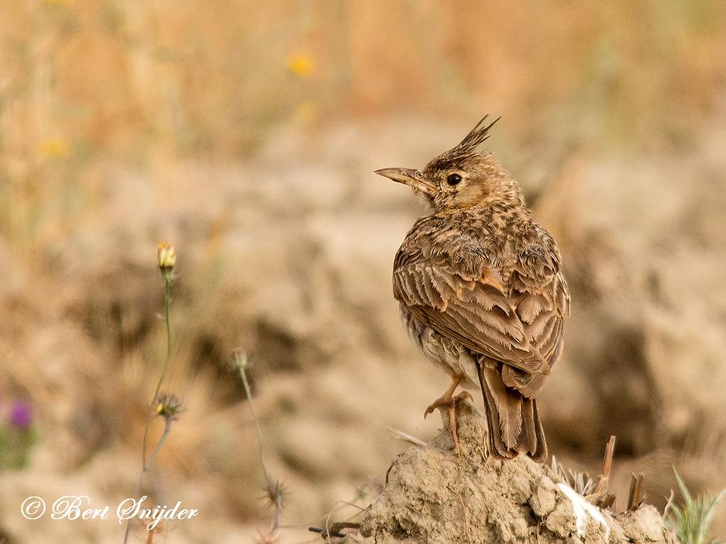 Kuifleeuwerik Vogelreis Portugal
