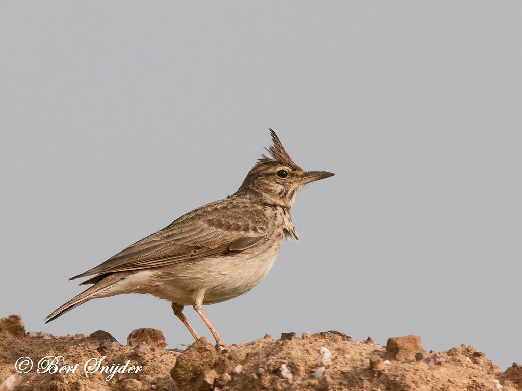 Kuifleeuwerik Vogelvakantie Portugal
