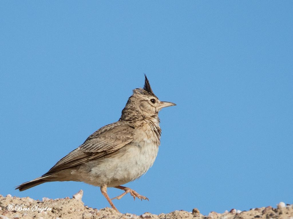 Kuifleeuwerik Vogels Portugal