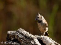 Kuifmees Vogelvakantie Portugal