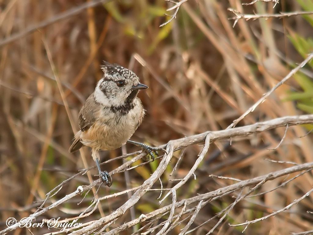 Kuifmees Vogelreis Portugal