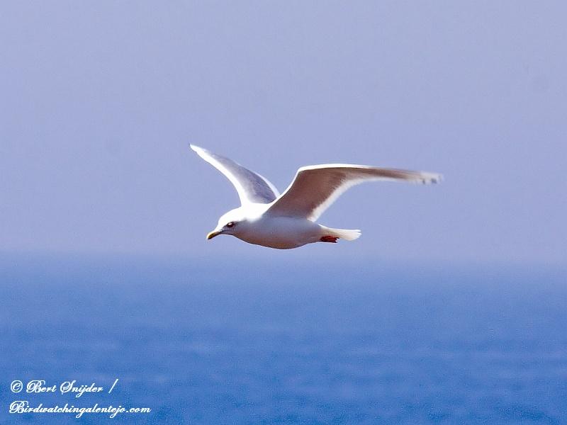 Kumliens Meeuw Vogelvakantie Portugal