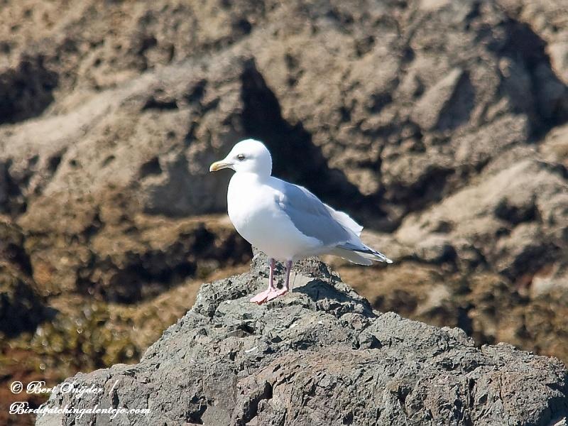 Kumliens Meeuw Vogelreis Portugal