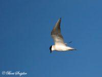Lachstern Vogelvakantie Portugal