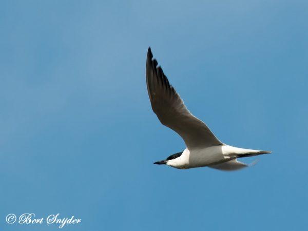 Lachstern Vogelreis Portugal
