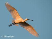 Lepelaar Vogelreis Portugal